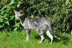 Oriental black silver blotched tabby femelle, Classic Ori's Fantastic Finish.