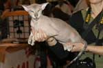 [Peterbald seal silver tabby point mâle, El Shaklan Don Juan]